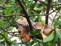 Iguana in Florida Keys