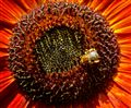 Honeybee n Red sunflower